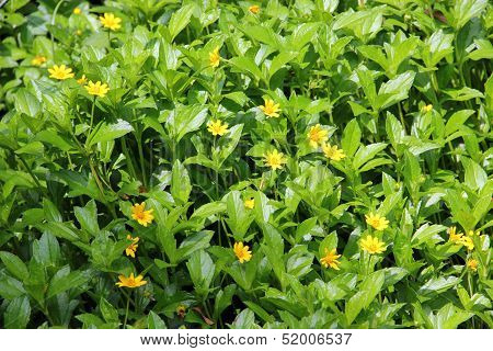 Breasted Golden-yellow Flowers.