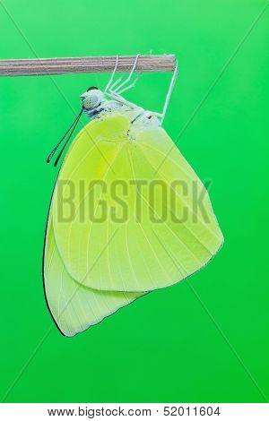 Male Lemon Emigrant Butterfly