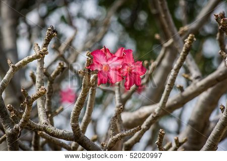 Two Flowers Of The Desert Rose