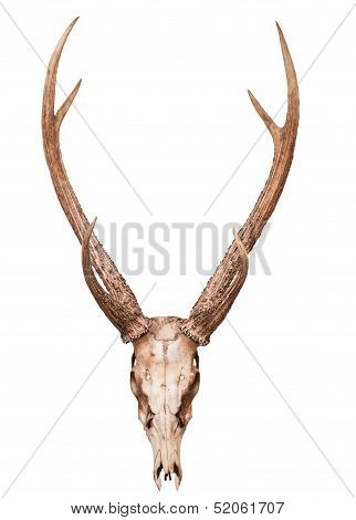 Samba Deer Skull Horn Isolated On White Backgorund