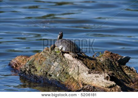 Painted Turtle floating on a rotting log. poster