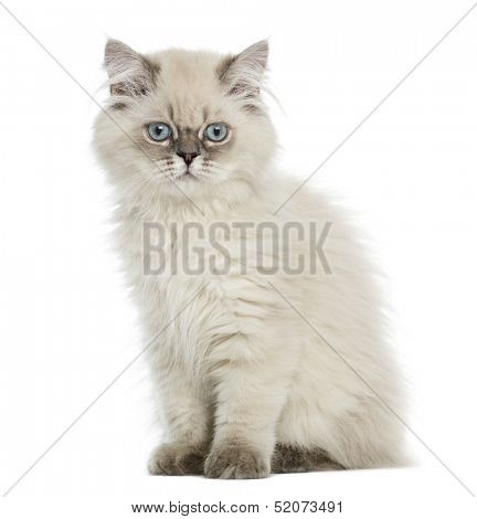 British Longhair kitten sitting, lloking at the camera, 5 months old, isolated on white