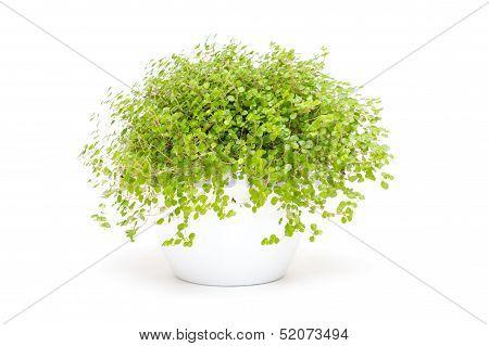 Green Indoor Plant Baby`s Tears