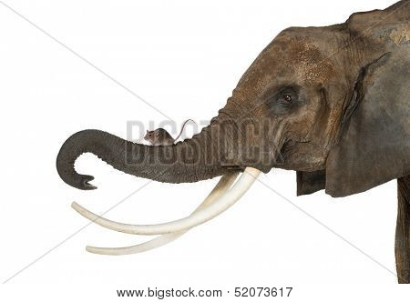 Close-up of a mouse standing on an elephant's trunk, isolated on white