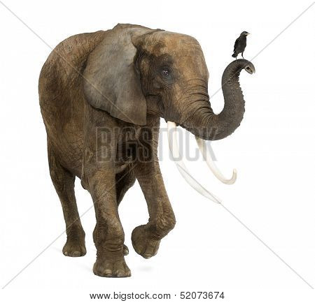 Standing African elephant with a Jackdaw on the trunk, isolated on white