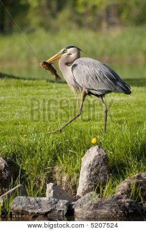 Fishing Heron Walking