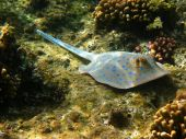Blue-spotted stingray and coral reef in Red sea poster