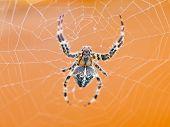 top view of Araneus spider at cobweb close up poster