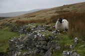 A sheep taken on the North Yorkshire moorland with limestone rocks. poster
