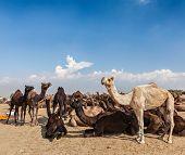 Camels at Pushkar Mela (Pushkar Camel Fair). Pushkar, Rajasthan, India poster