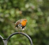 European Robin looking ragged whilst brooding young. poster