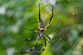A female Golden SIlk Orb Weaving Spider waiting on her web poster