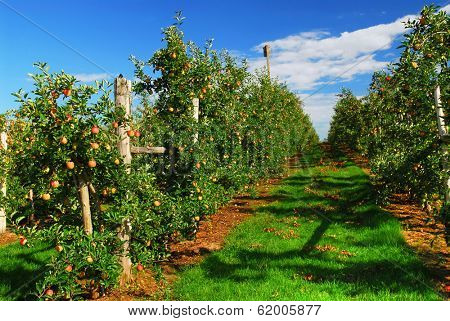 Apple orchard with red ripe apples under bright blue sky