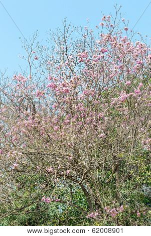 Pink Pantip Tree