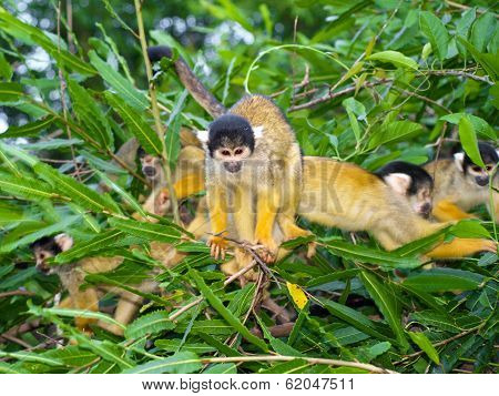 Group Of Yellow Squirrel Monkeys