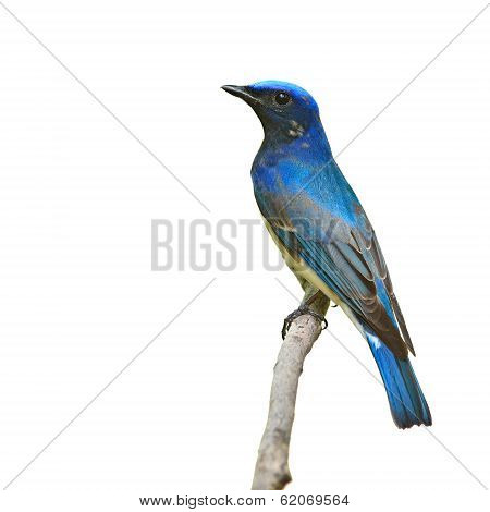 Blue And White Flycatcher Bird