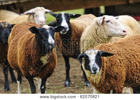 Group of cute sheep standing on small scale biodynamic farm