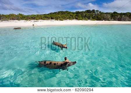 Swimming pigs of the Bahamas in the Out Islands of the Exuma