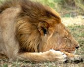 Close-up shot of powerful male lion sleeping poster