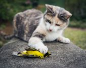 Calico Cat with its unfortunate prey, a beautiful yellow Hooded Warbler bird. poster
