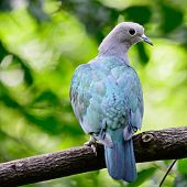 Green Imperial Pigeon (Ducula aenea), standing on a branch, back profile poster