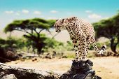 A wild cheetah about to attack, hunt, sitting on a dead tree. Safari in Serengeti, Tanzania, Africa. poster