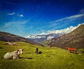 Vintage retro hipster style travel image of serene peaceful landscape background - cows grazing on alpine meadow in Himalayas mountains. Himachal Pradesh, India poster