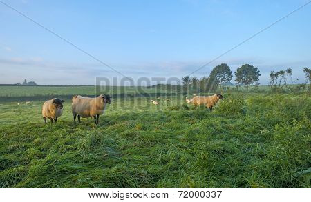 Sheep in a meadow at dawn in summer poster