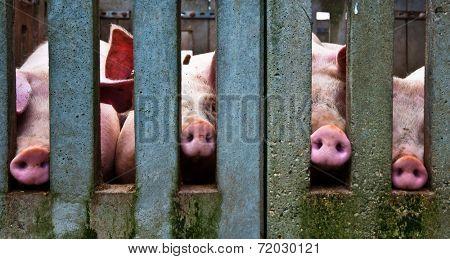 Noses of pigs through a concrete fence