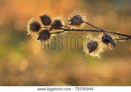 Burdock seeds on sunset