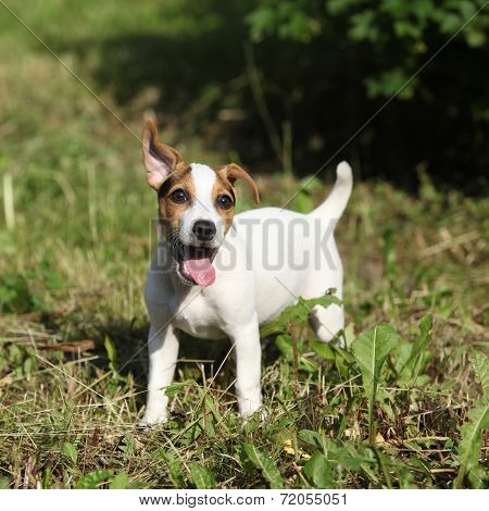 Amazing Jack Russell Terrier Puppy In The Garden