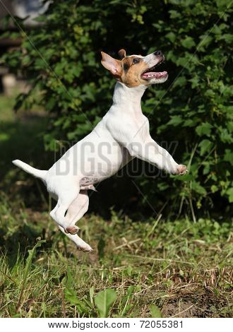 Crazy Puppy Of Jack Russell Terrier Jumping