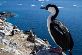 Antarctic blue-eyed cormorant sitting on a rock on a background of the colony poster