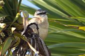 Chalk-browed Mockingbird sitting among the green branches with open beak poster