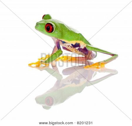 Red Eyed Frog Isolated