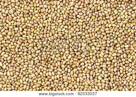 Vigna aconitifolia also called Mot or Moth or Matki or dew beans background