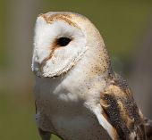 Portrait of a Barn Owl looking out for prey poster