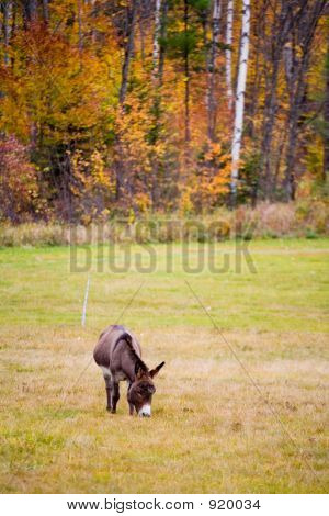 donkey in foliage in rural new england 09-010-101 poster