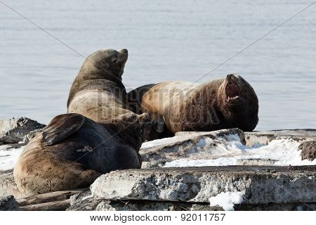Rookery Steller Sea Lion Or Northern Sea Lion. Kamchatka, Avacha Bay