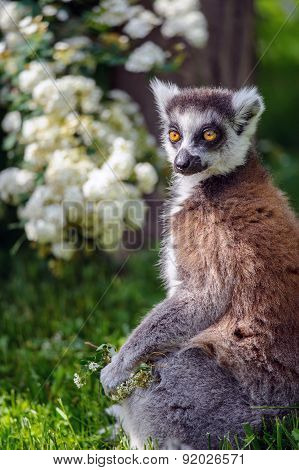 Lemur Suitor With Flowers