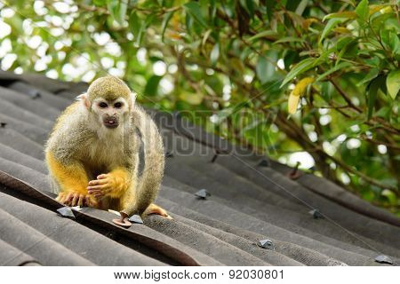 Squirrel Monkey Looking At You