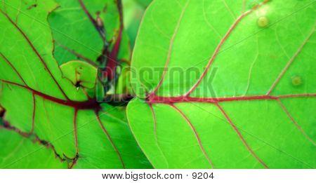 Green Beach Grape Leaves