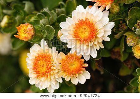 Chrysanthemum flowers in the garden.