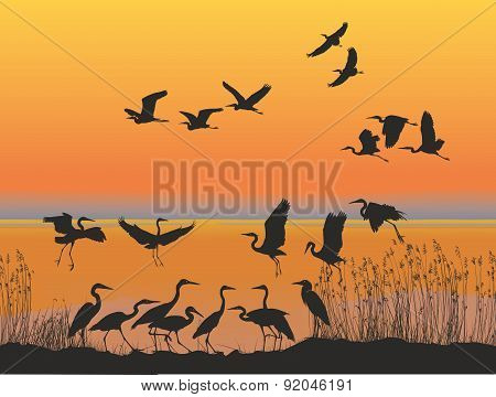 Herons on the shore of lake at sunset