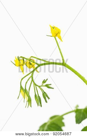Yellow Tomato Flower Cluster
