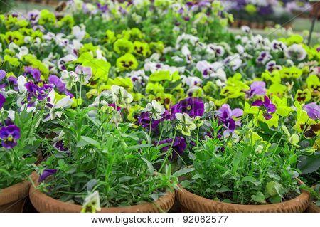 Pensy Flower Plants In Pot