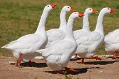A gaggle of Embden geese walking along a green grassy field. poster
