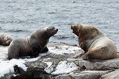 Nature of Kamchatka: rookery Steller Sea Lion or Northern Sea Lion (Eumetopias Jubatus). Russia Kamchatka Peninsula Avachinskaya Bay Petropavlovsk-Kamchatsky City. poster