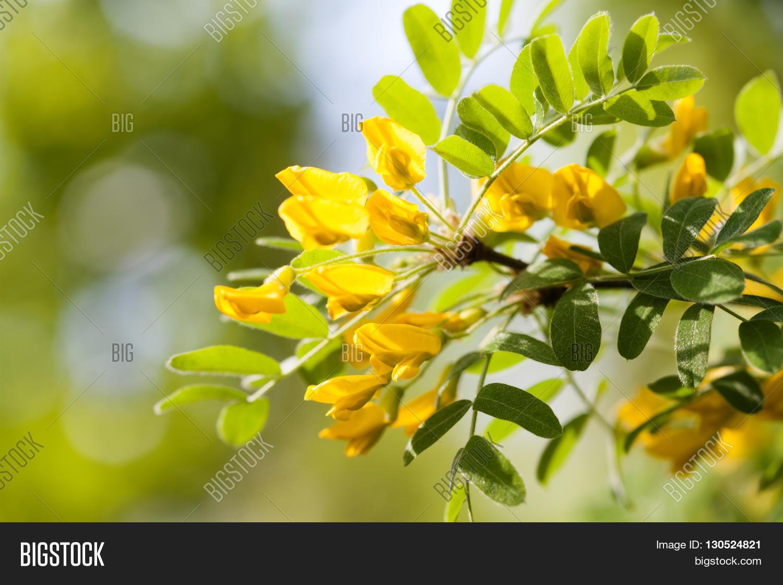 Acacia Tree Branch Image Photo Free Trial Bigstock
