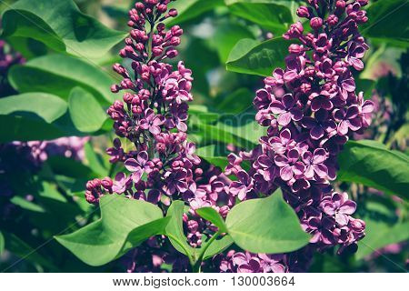 Bunch Of Violet Lilac Flower